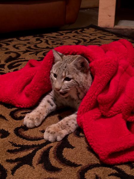 Great Northern Powder Guides has a real bobcat..